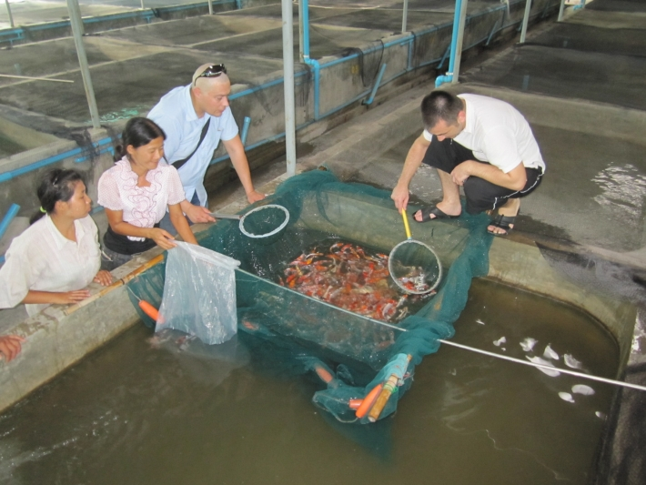 Visiting the farm and selecting the product that customer has ordered (In this photo: Jeda Aquatics Koi Farm)